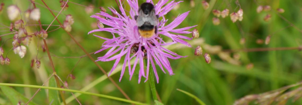 Wildbienen breiten sich am Bodensee wieder aus